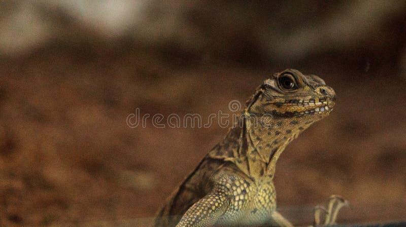Młodego Filipińskiego żagla użebrowany smok znać jako Hydrosaurus pustula fotografia royalty free