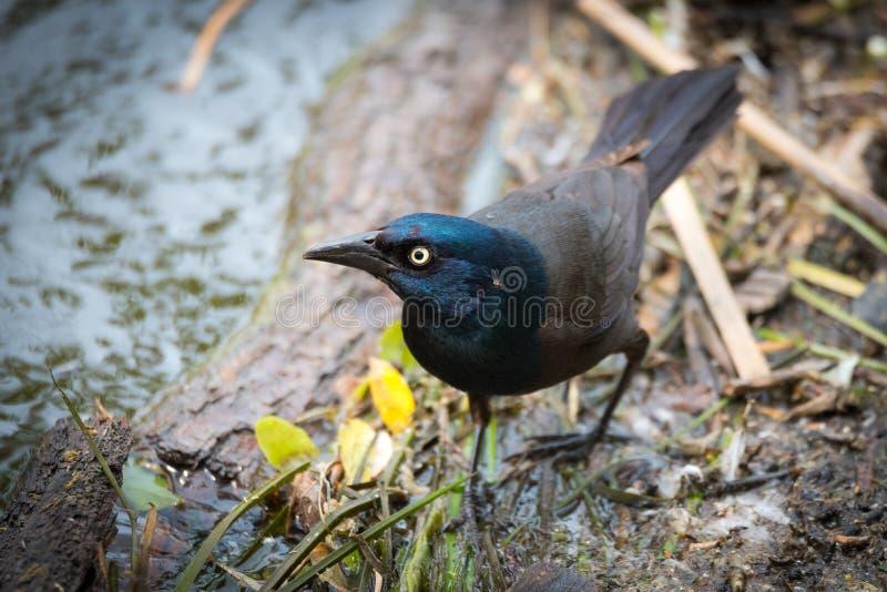 Młodego piwowara Czarny ptak (euphagus cyanocephalus) obraz stock