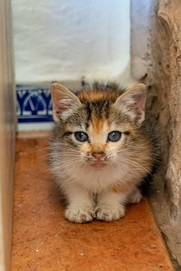 Młodego tortoiseshell figlarki cycowy kot chuje między ścianą i spiżarnią fotografia stock
