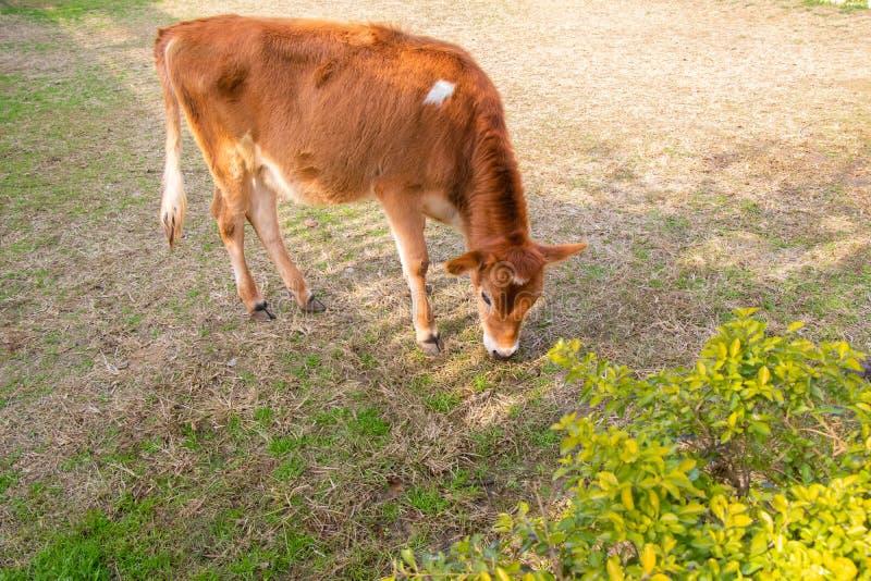 Młodej krowy łasowania łydkowa trawa w ziemi obrazy royalty free