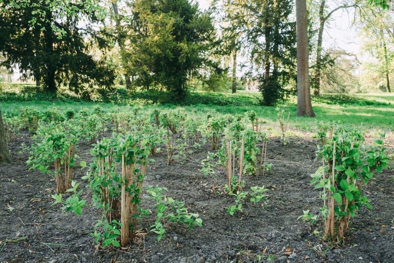 Młodej rośliny sapling fotografia stock