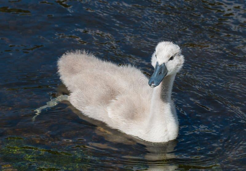 Młody łabędziątko niemego łabędź dopłynięcie w jeziorze fotografia royalty free