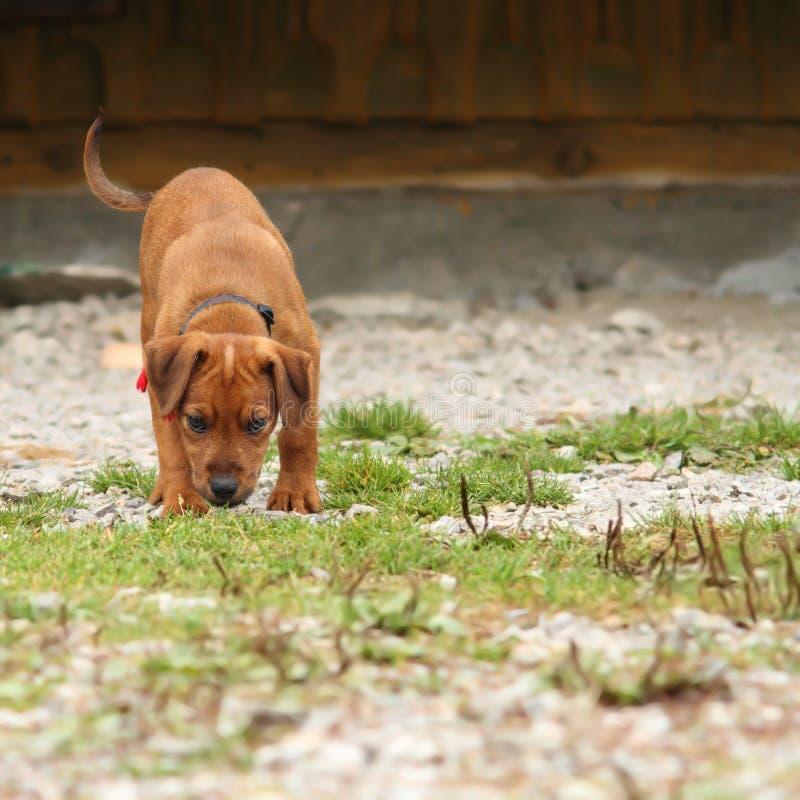 Młody łowiecki pies w szkoleniu fotografia stock
