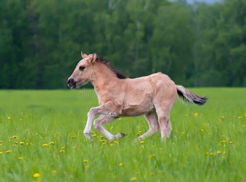 Młody źrebica bieg w polu dandelions obraz stock