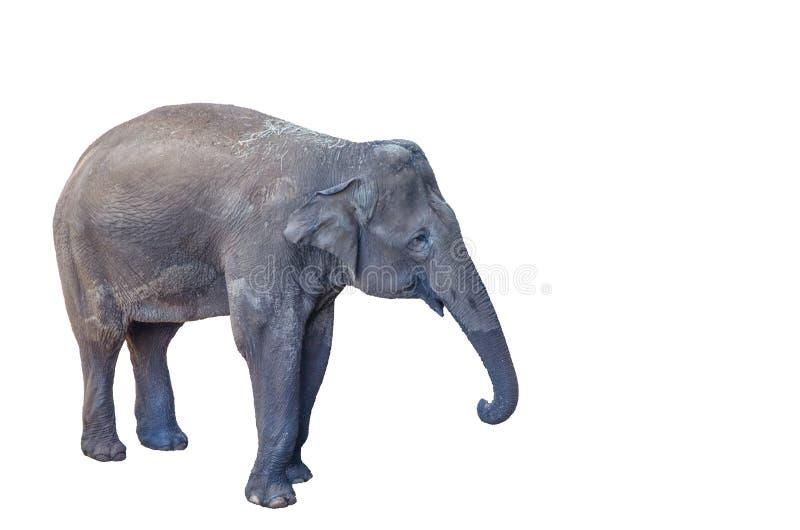 Młody żeński Azjatycki słoń odizolowywający na białym tle zdjęcie stock