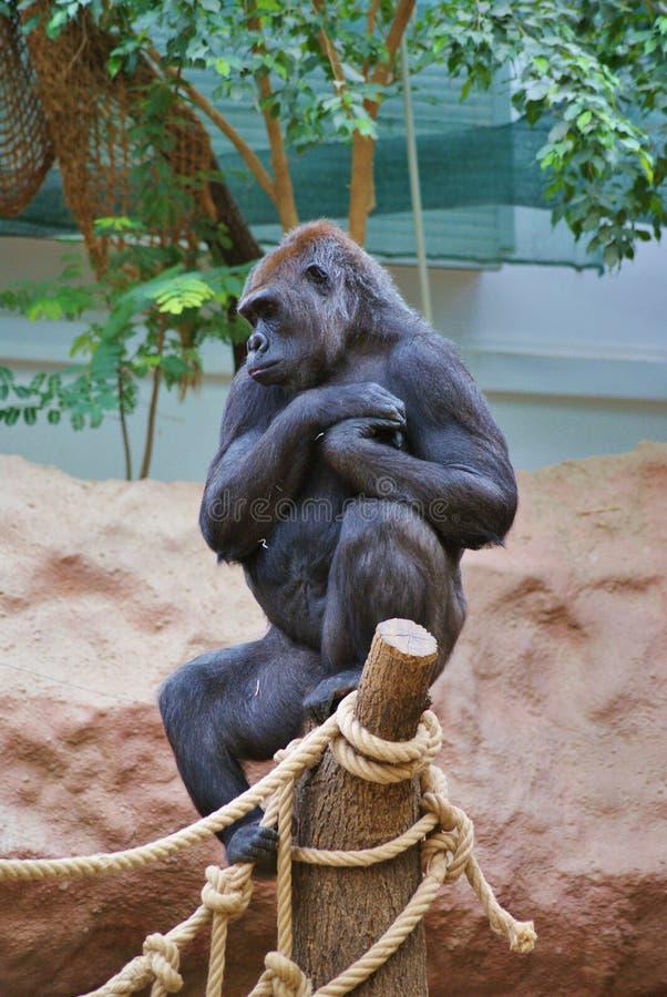 Download Młody żeński goryl zdjęcie stock. Obraz złożonej z humanoid - 57659926