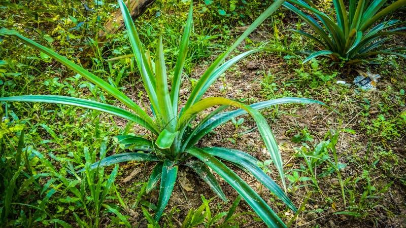 Młody ananas fotografia royalty free