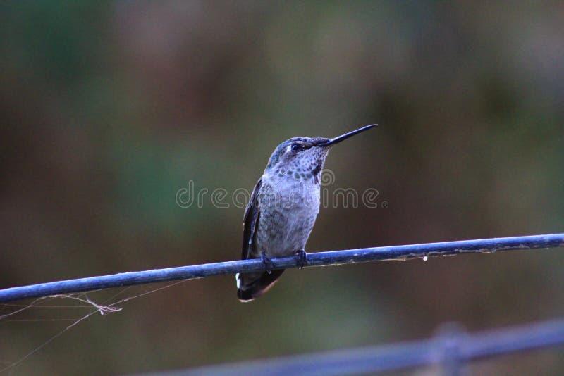 Młody Annas Hummingbird obrazy stock