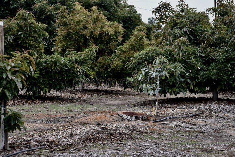 Młody avocado drzewo otaczający dojrzałymi drzewami na rancho zdjęcie royalty free