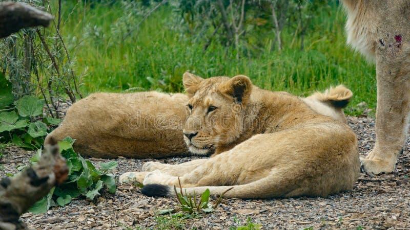 Młody Azjatycki lew, Asiatic lwa lisiątko/ Kłamać na ziemi z głową podnoszącą i jego matkuje w pobliżu zdjęcia royalty free