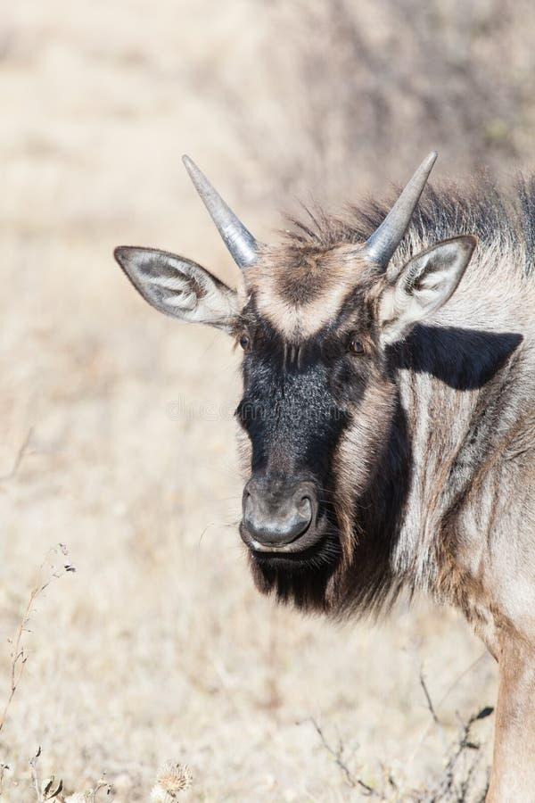 Młody Błękitny Wildebeest obrazy royalty free