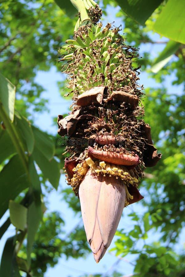Młody banan Z kwiatami fotografia stock