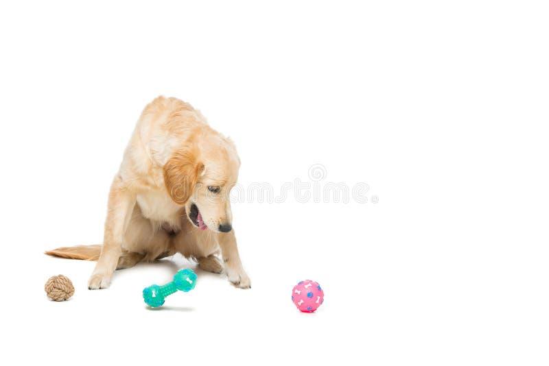 Młody beautiul golden retriever pies obraz royalty free