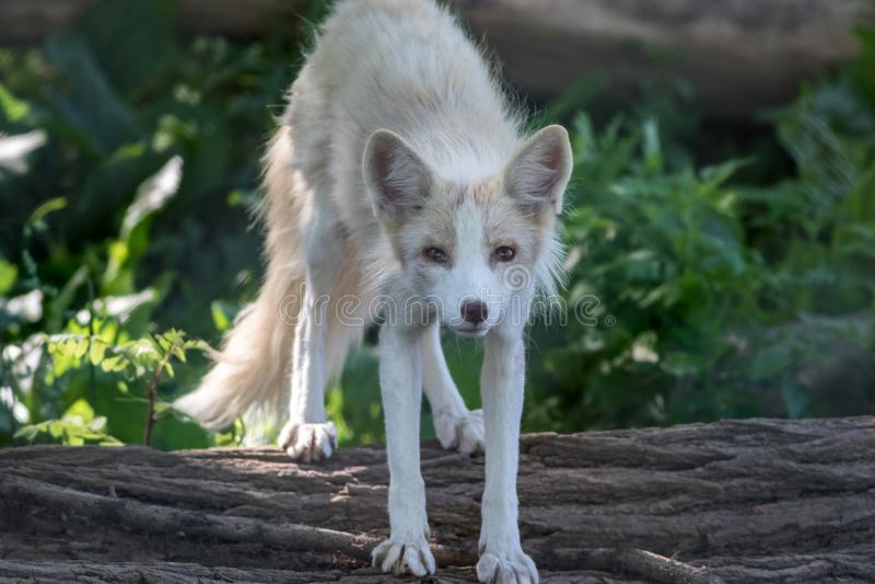 Młody Białego Fox Vulpes na nazwy użytkownikiej popołudnia miękkim świetle zdjęcia royalty free
