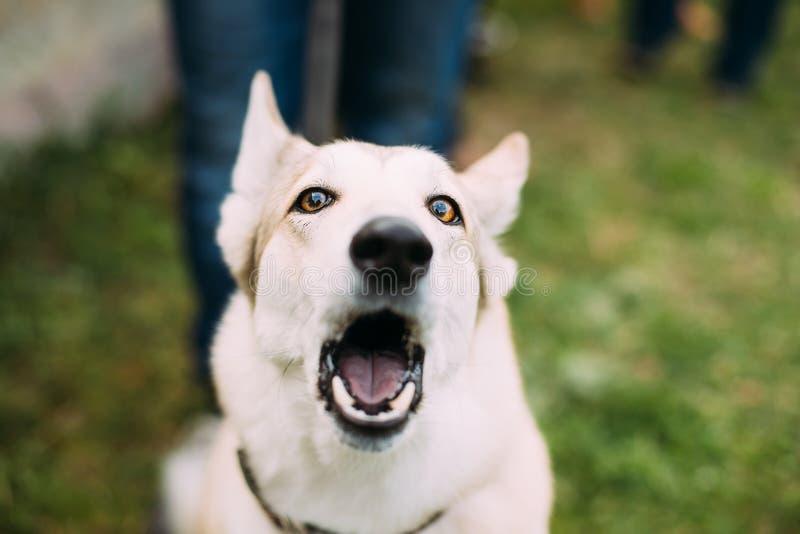 Młody Biały Łuskowaty Eskimoskiego psa szczekanie W Zielonej trawie obraz royalty free
