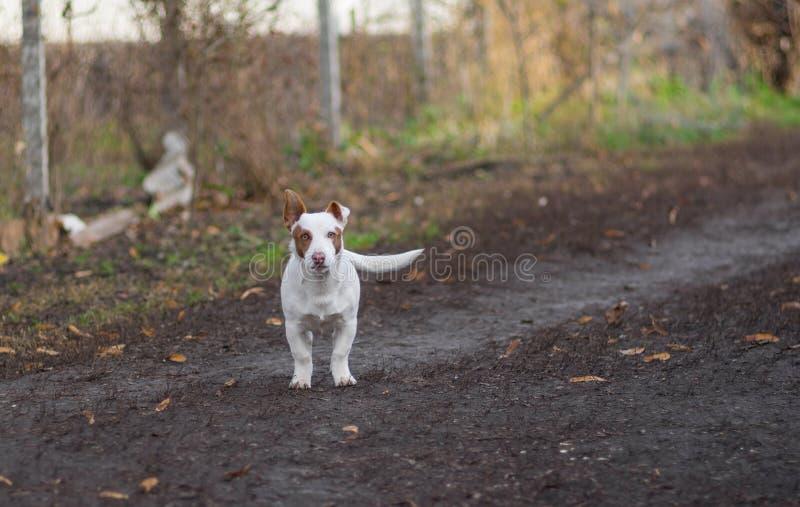 Młody biały i krępy mieszany trakenu pies przygotowywający bronić swój terytorium obrazy royalty free