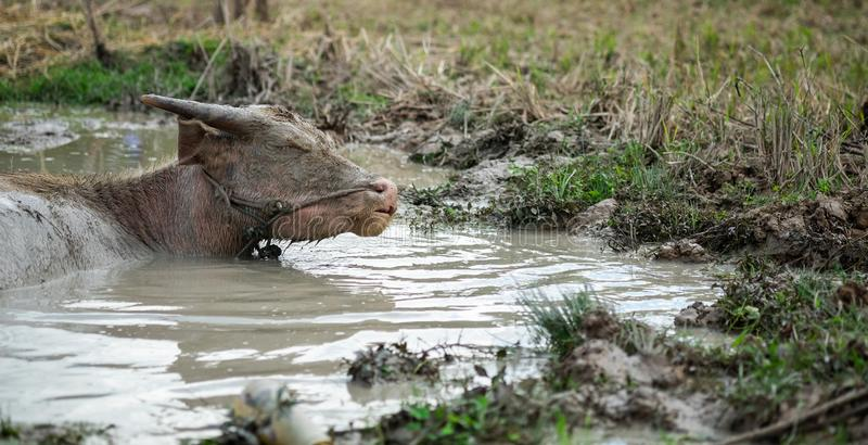 Młody bizon w wodzie zdjęcie royalty free
