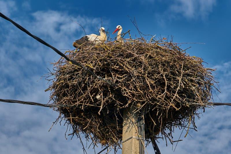 Młody bocianowy ptak z swój matką w wielkim gniazdeczku obrazy stock