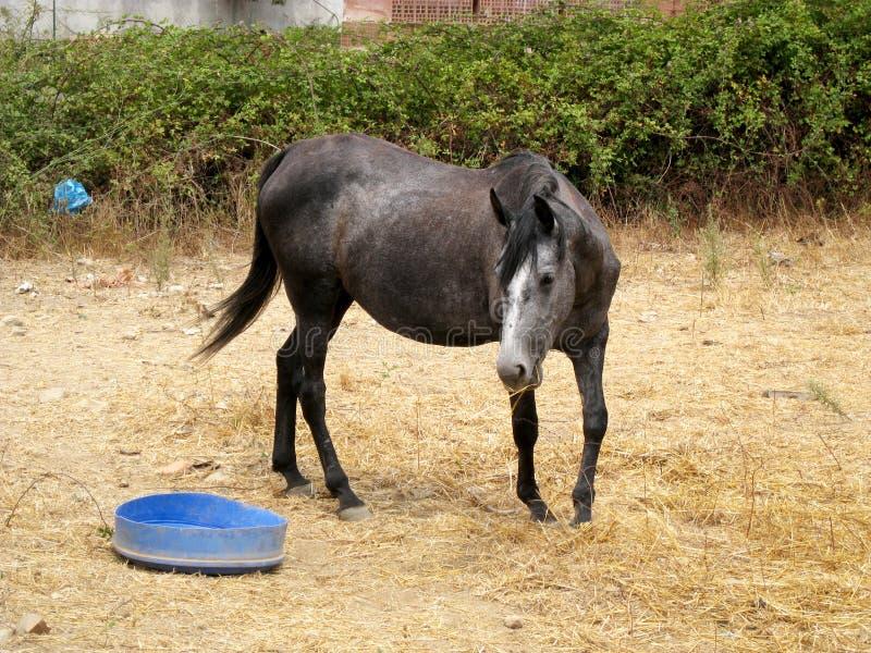 Młody brown, czerń koń w polu sucha trawa z zielenią dalej/ zdjęcia stock