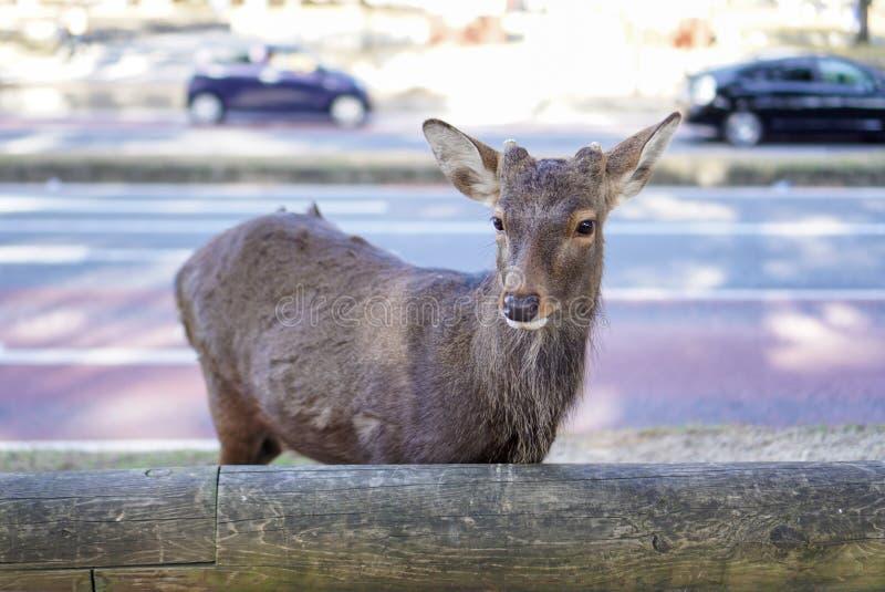 Młody brown jeleni życzliwy wędruje na sideway obraz royalty free
