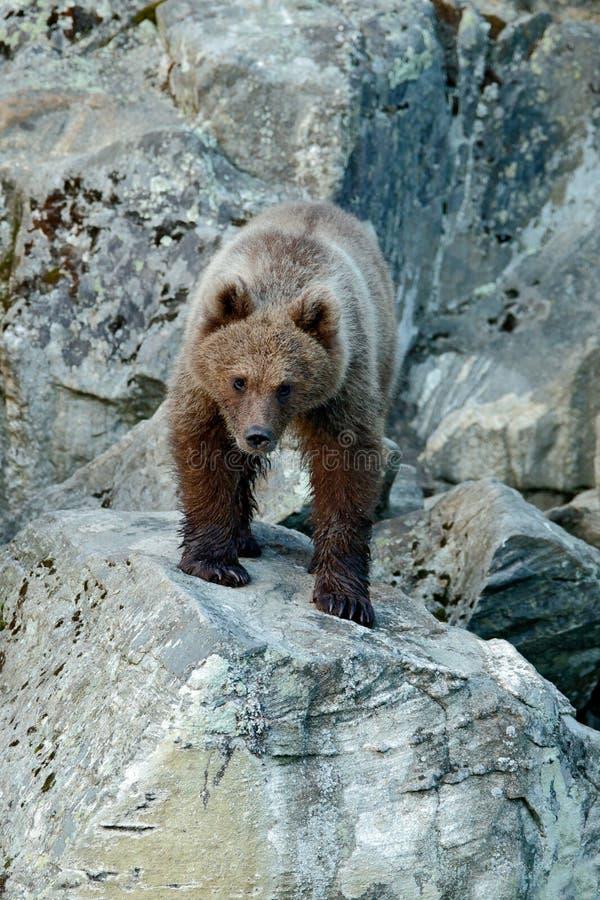 Młody brown niedźwiedź gubjący w skale Portret brown niedźwiedź, siedzi na popielatym kamieniu, zwierzę w natury siedlisku, Sista obrazy royalty free