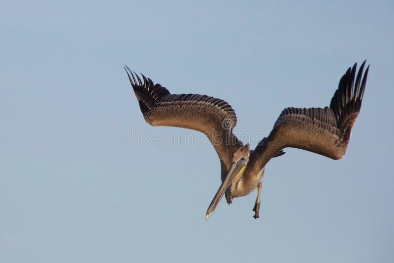 Młody Brown pelikana pikowanie zdjęcia stock