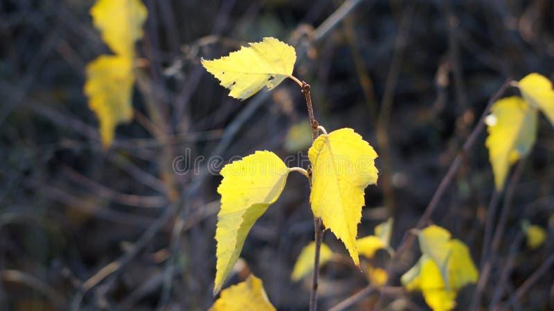 Młody brzozy drzewo z swój oszałamiająco pięknymi liśćmi obrazy royalty free