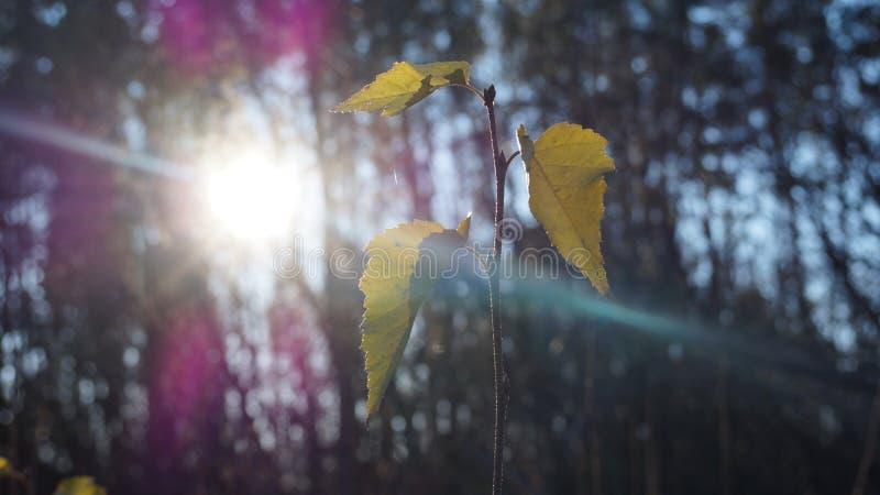 Młody brzozy drzewo z swój oszałamiająco pięknymi liśćmi obraz stock