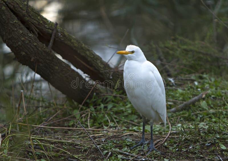 Młody bydła egret obraz royalty free