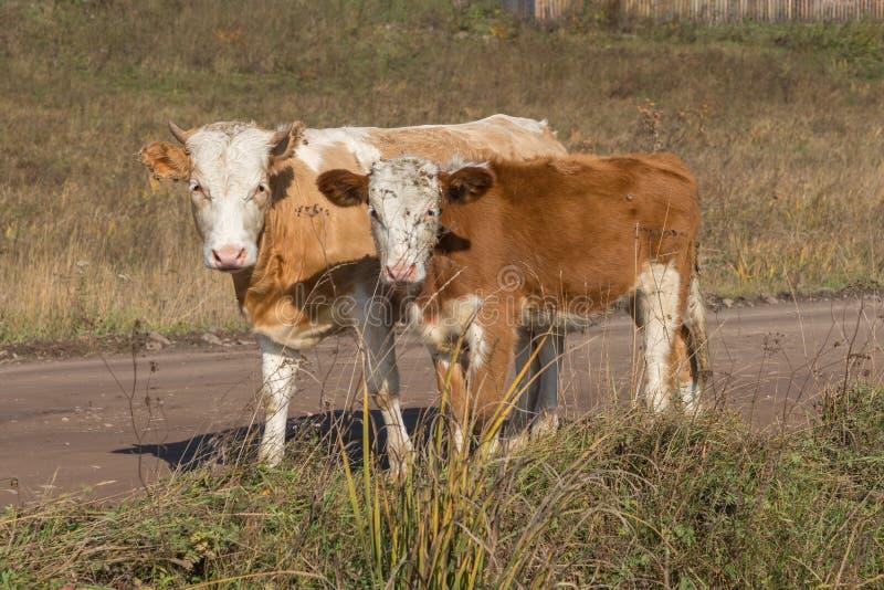Młody byka i łydki stojak na drodze przeciw tłu trawa w jesieni fotografia royalty free