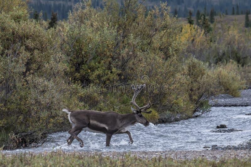Młody Caribou zdjęcie royalty free