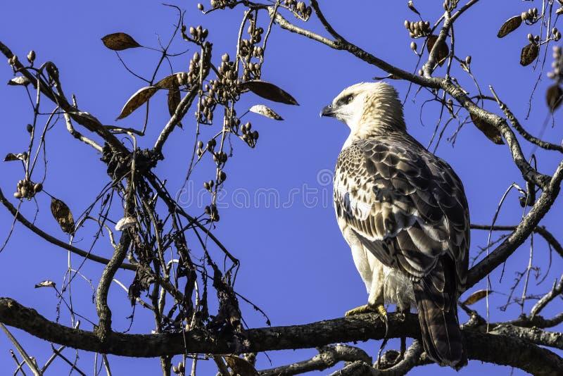 Młody changeable Eagle lub czubaty Eagle w Jim Corbett parku narodowym, India fotografia royalty free