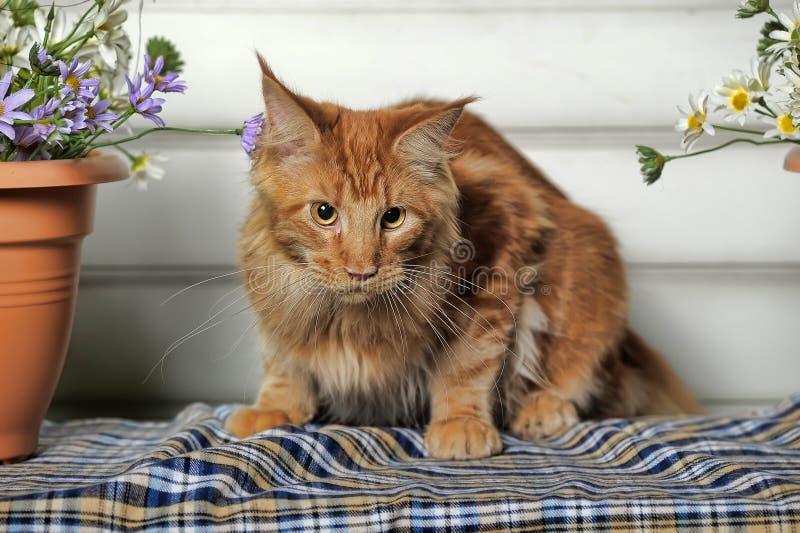 Młody Coon z kwiatami zdjęcia stock