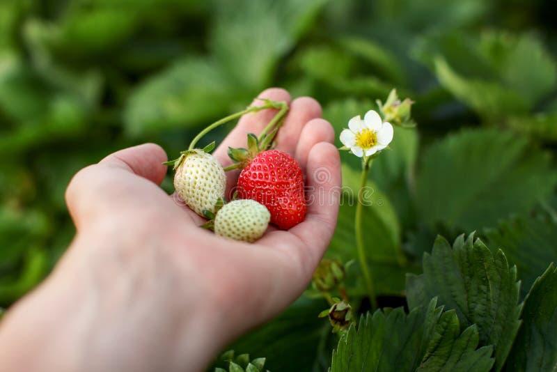 Młody człowiek ręka trzyma niedojrzałe i dojrzałe truskawki z kwiatem, fotografia stock