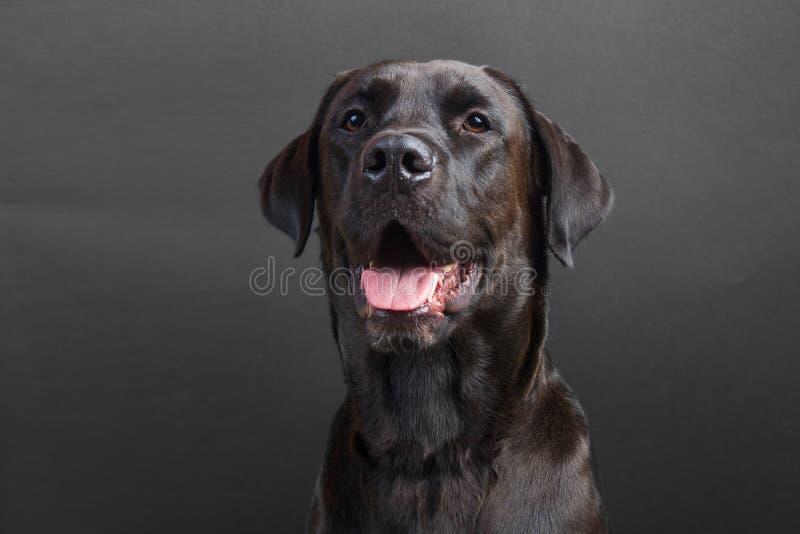 Młody czarny labrador ono uśmiecha się z jęzorem out na czarnym tle obrazy royalty free