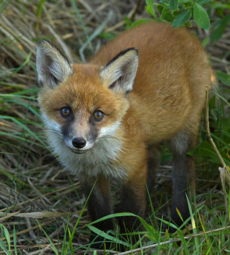 Młody czerwonego lisa lisiątka portret Wiosny przyroda obraz stock
