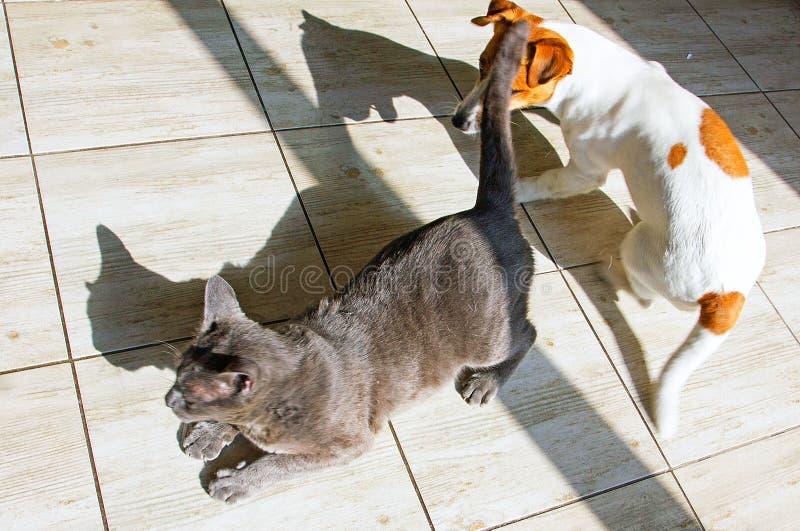 Młody dźwigarki Russell terier bawić się z szarym kotem na płytce z cieniami zdjęcia stock