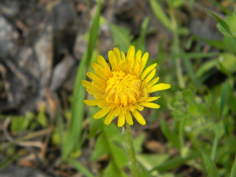 Młody dandelion w lesie Zaczyna otwierać wiosna upał zdjęcie stock