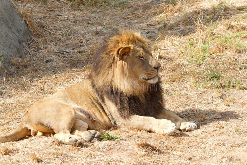 Młody dorosłej samiec lew kłaść na brown suchej trawie obrazy royalty free