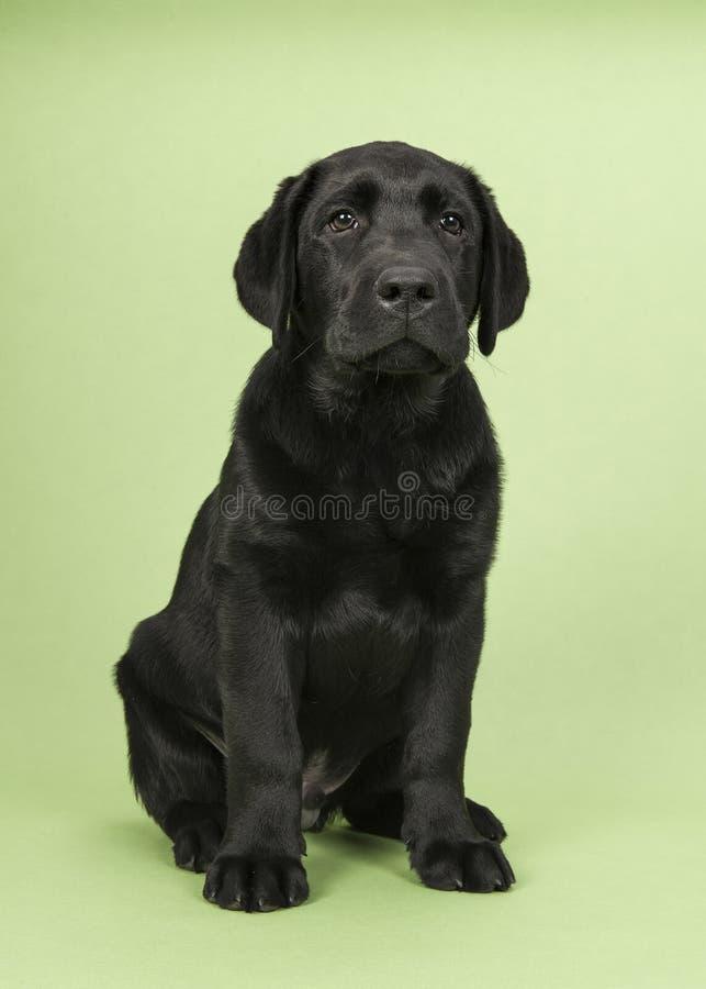 Młody dorosły czarny Labrador retriever obsiadanie na zielonym tle fotografia stock