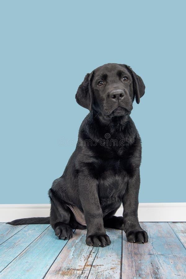 Młody dorosły czarny Labrador retriever w błękitnym żywym pokoju obrazy royalty free