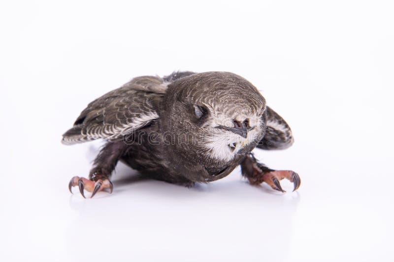 Młody Eurazjatycki jerzyk zdjęcia stock