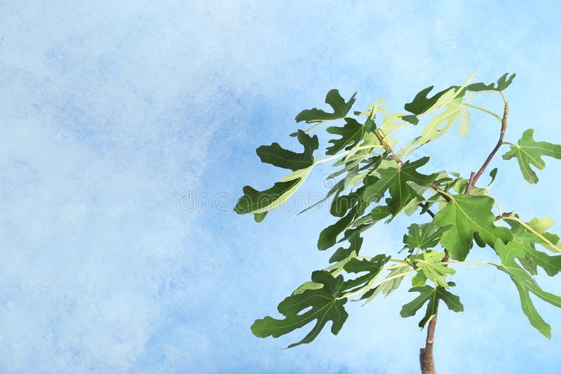Młody figi drzewo z luksusowymi liśćmi fotografia royalty free