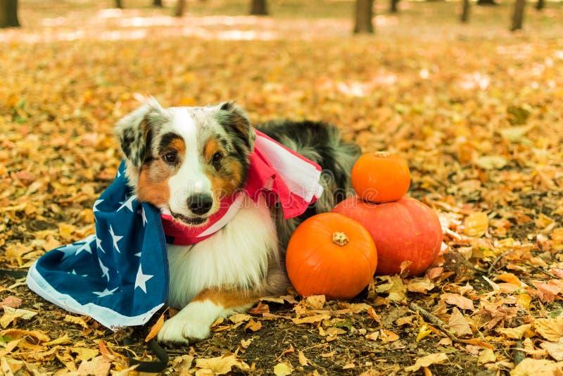 Młody figlarnie pies Australijska baca w parku w jesień lesie wykonuje rozkazy ubierający w amerykaninie obraz stock