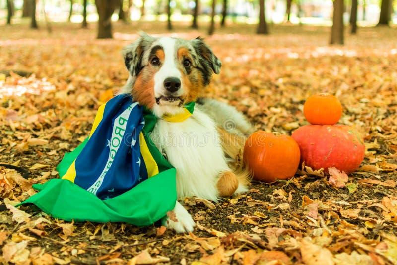 Młody figlarnie pies Australijska baca w parku w jesień lesie wykonuje rozkazy ubierający w brazylijskim zdjęcie royalty free