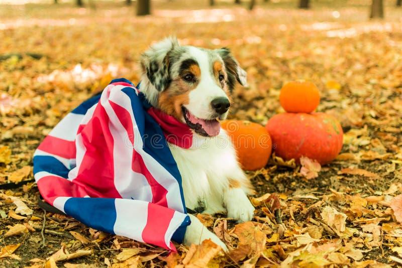 Młody figlarnie pies Australijska baca w parku w jesień lesie wykonuje rozkazy ubierający w Britain zdjęcia royalty free