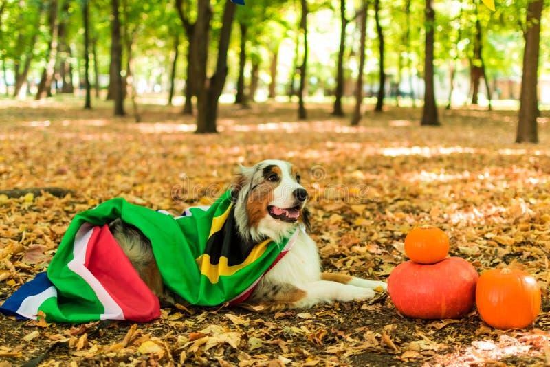 Młody figlarnie pies Australijska baca w parku w jesień lesie wykonuje rozkazy ubierający w południe zdjęcie stock