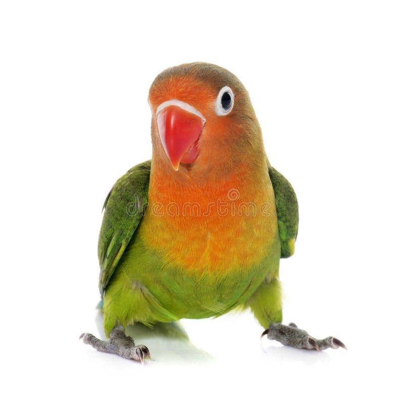 Młody fischeri lovebird zdjęcie royalty free