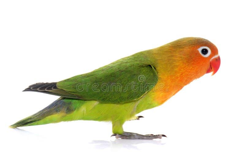 Młody fischeri lovebird zdjęcie stock