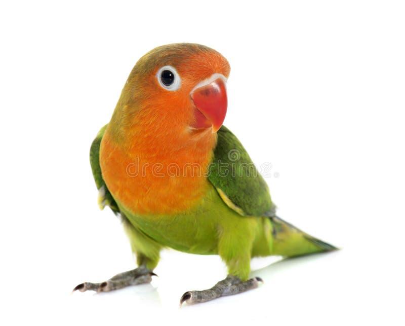 Młody fischeri lovebird zdjęcia royalty free